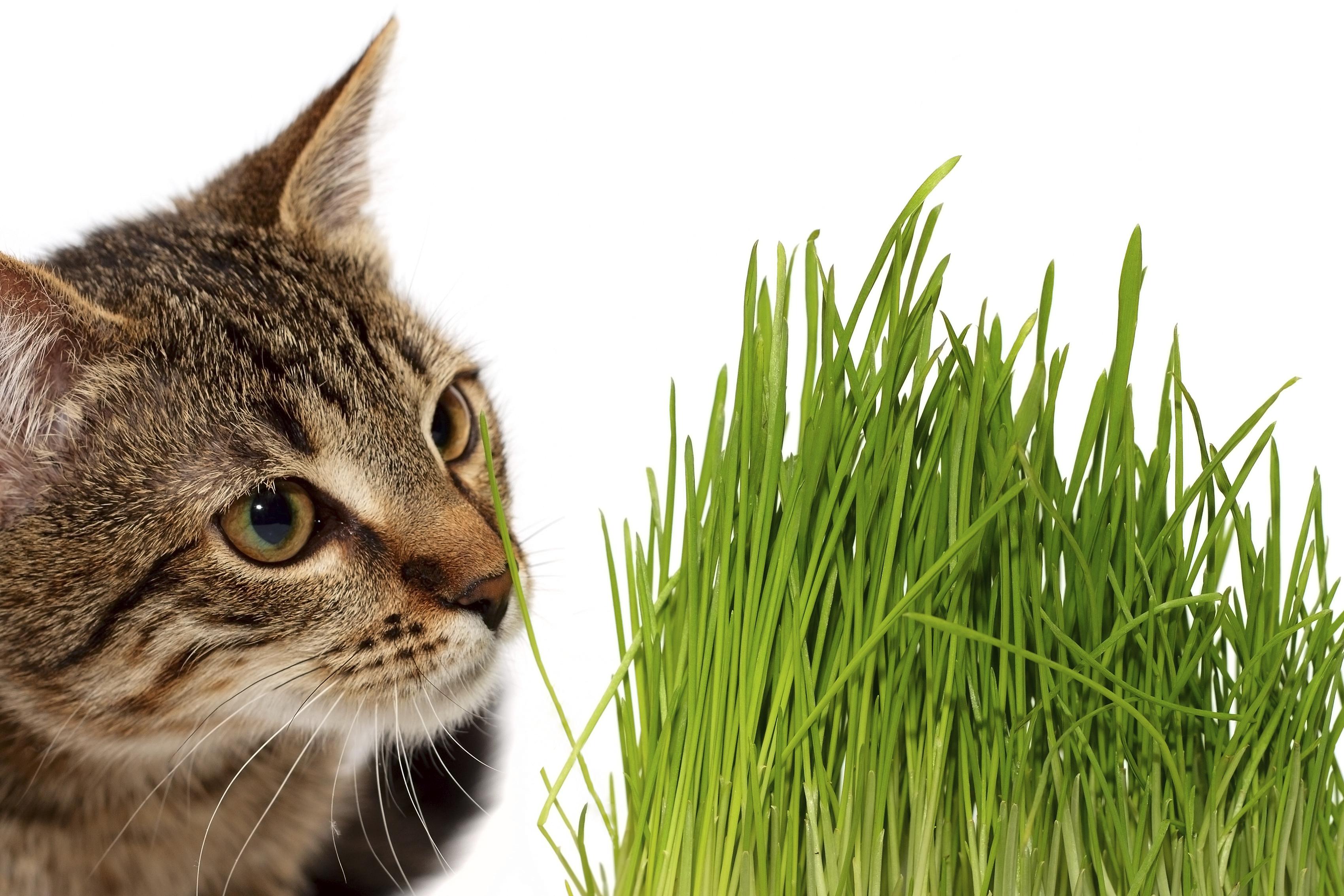 achat herbe a chat