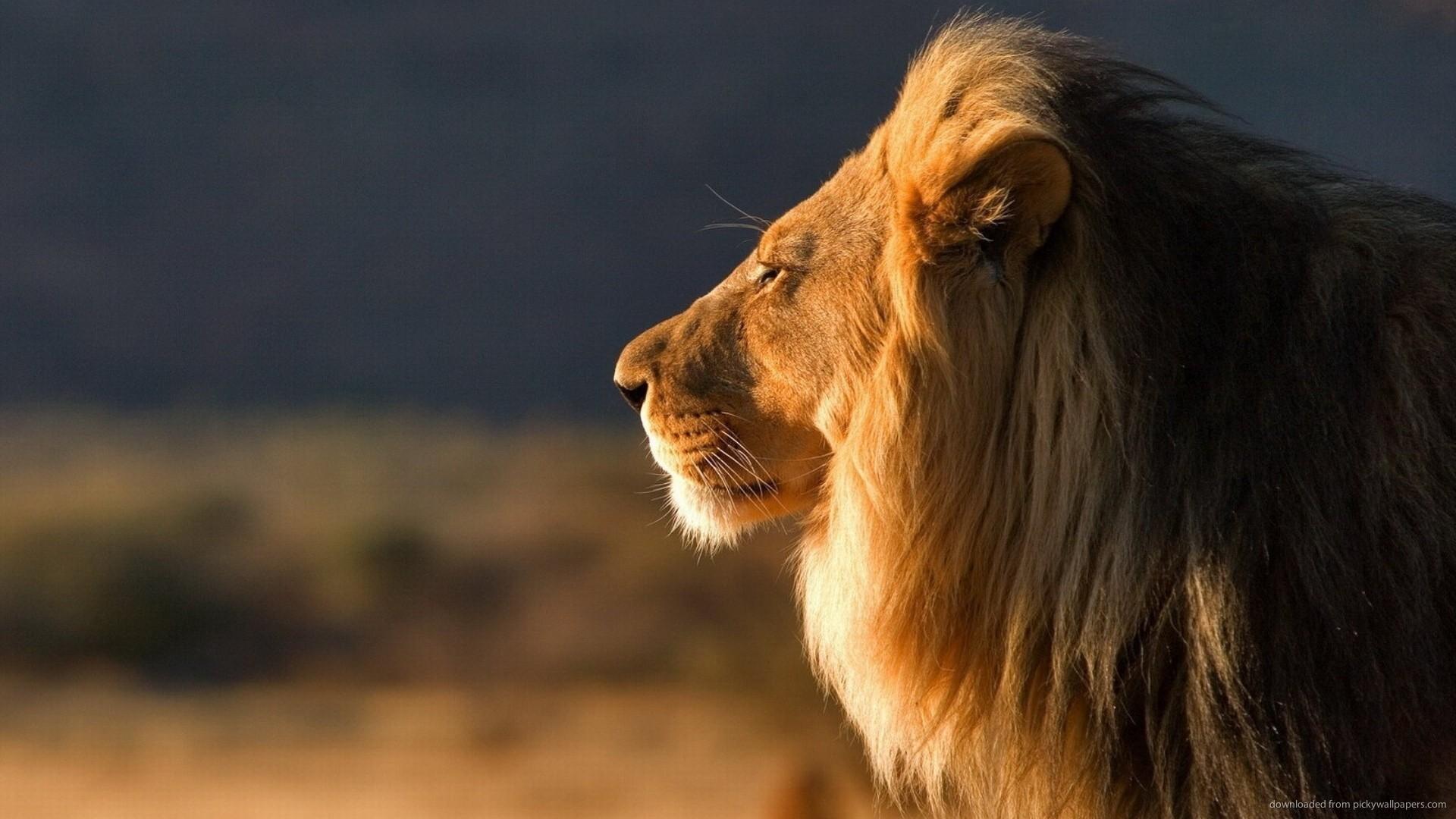 acheter lion