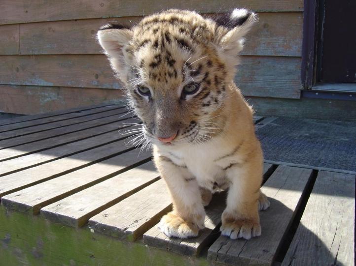 acheter tigre