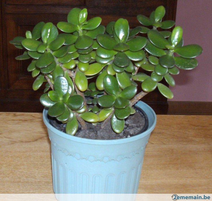 arbre de jade