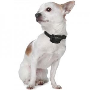 collier anti aboiement chihuahua