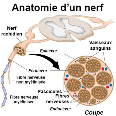 définition nerf