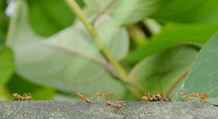 eliminer les fourmies dans le jardin