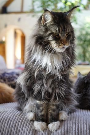 maine coon pas cher