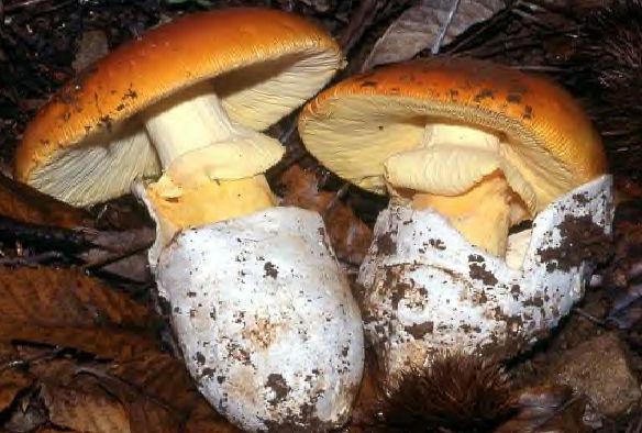 meilleur champignon