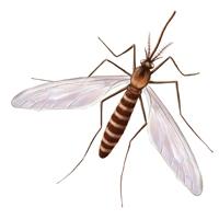 moustique jaune et marron