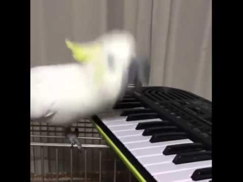 piano bird
