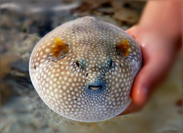 poisson balon
