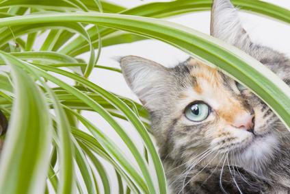 repulsif chat plante