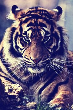 swag tigre