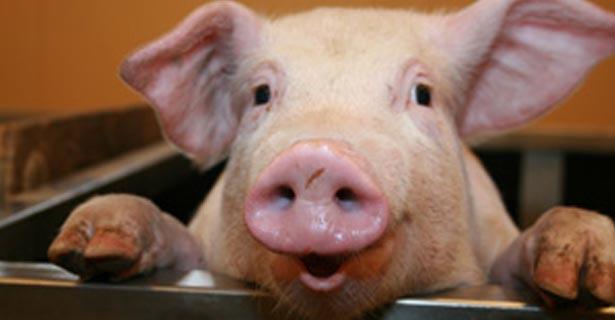 test du cochon